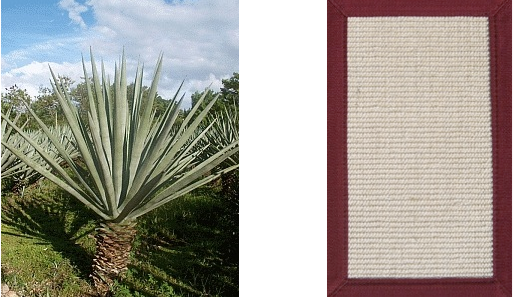 "Picture of ""agave sisalana"" cactus plant and sisal rug"